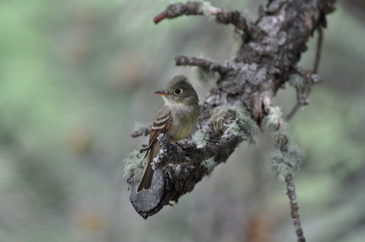 Fly catcher in the trees