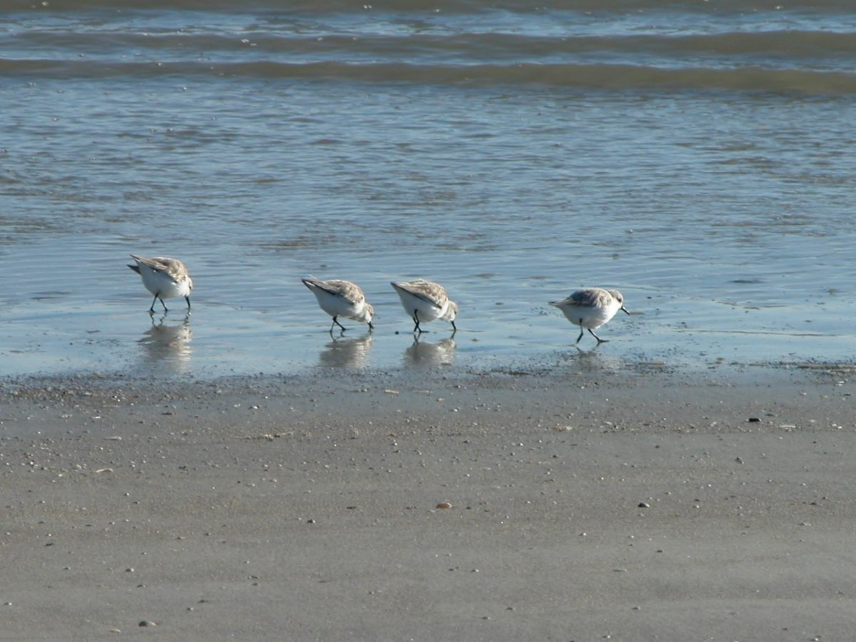 4 Sandpipers at the edge of the water on a South Carolina beach.