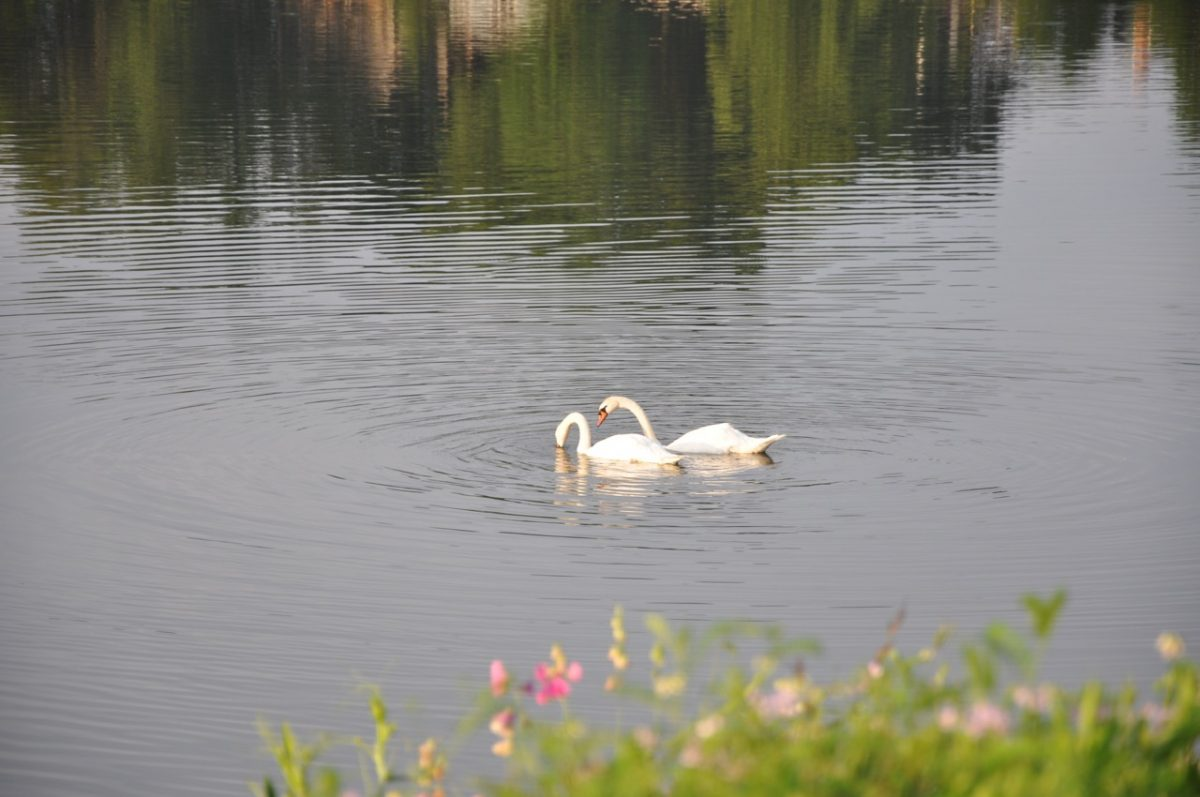 Two swans on the water. One is poking its bill in the water for food. A few pink flowers in the foreground on the edge of the lake.