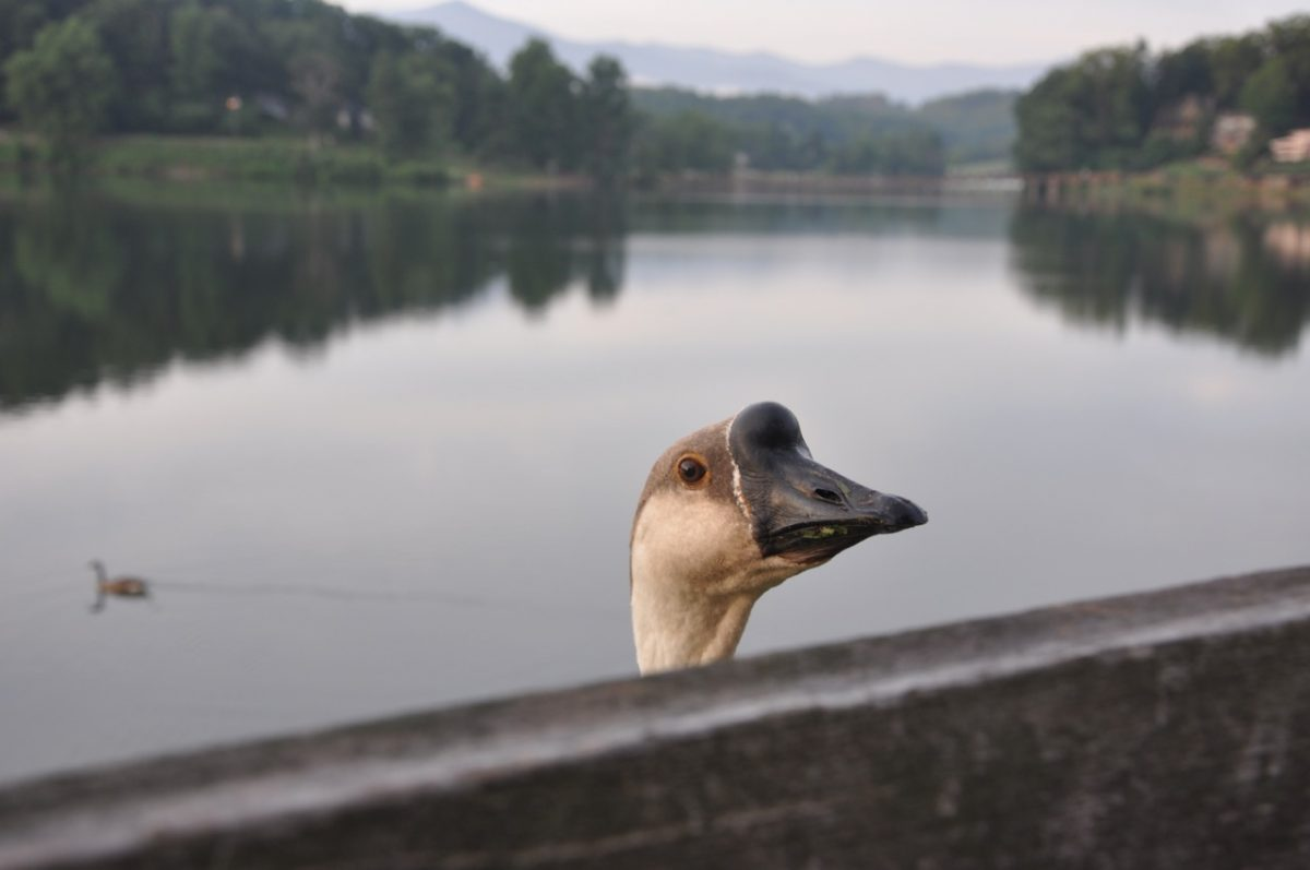 Water in the background, with shores showing on the far side. The head of a goose is in the center foreground looking over a wood railing.