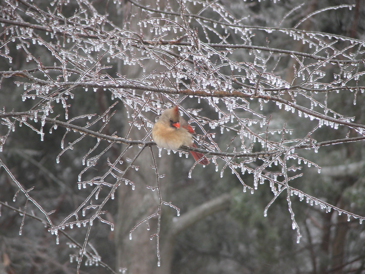 A female cardinal perched on a limb in an ice-coated tree.