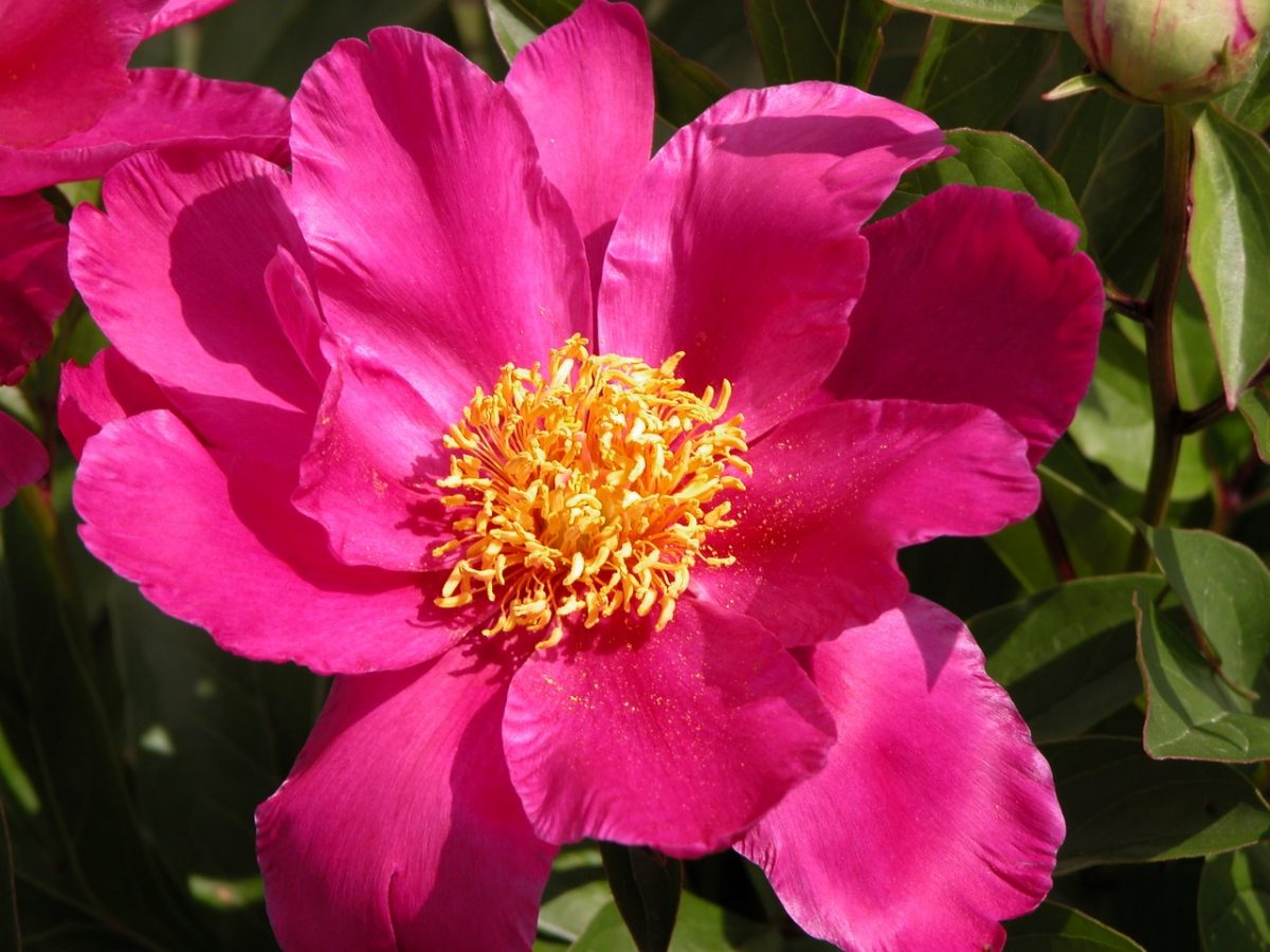 Hot pink peony in full bloom.